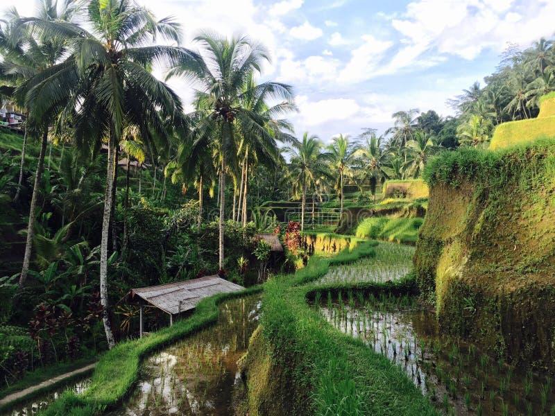 Scena del terrazzo delle risaie di Bali fotografia stock libera da diritti