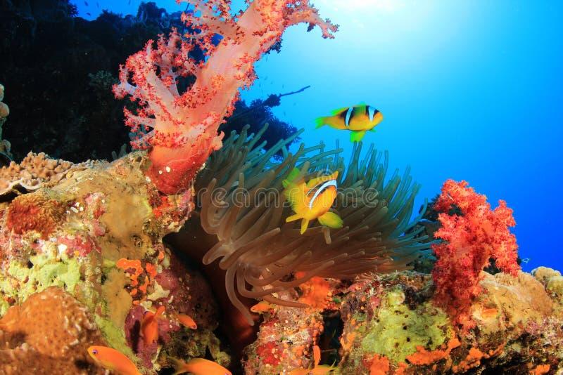 Scena della barriera corallina con Clownfish fotografia stock