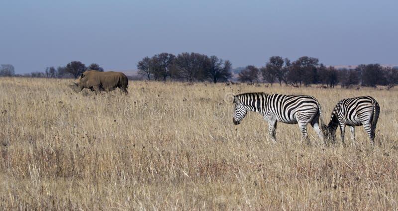 Scena della fauna selvatica con la zebra ed il rinoceronte immagini stock libere da diritti