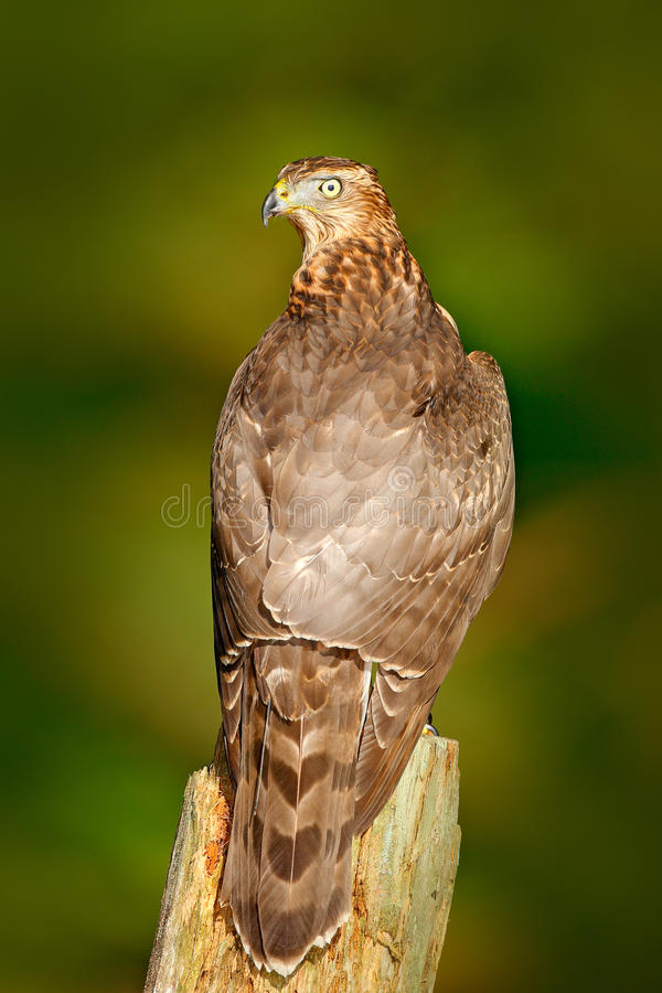 Scena della fauna selvatica di Aciton dalla foresta, con l'uccello Astore con la luce della parte posteriore del sole di sera, ha fotografia stock
