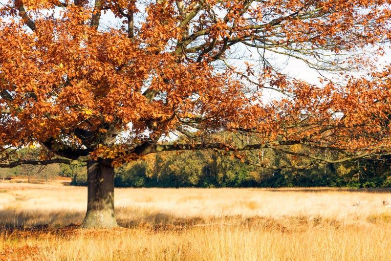 Scena di autunno in Richmond Park immagini stock libere da diritti