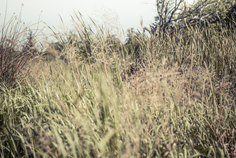 Scena di caccia con l'uomo del cacciatore che tende nell'erba alta nell'agguato con il fucile da caccia durante la stagione di ca fotografia stock