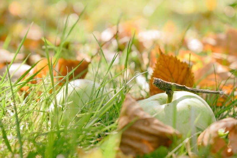 Scena di caduta Foglie e mele di autunno sul giardino Raggi dorati del sole di mattina su erba verde La conclusione dell'estate C fotografia stock libera da diritti