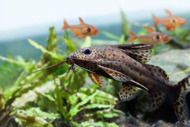 Scena di natura morta della cassa d'acqua del pesce gatto di nuoto bella Pesce capovolto blotched synodontis nigriventris con fotografia stock libera da diritti