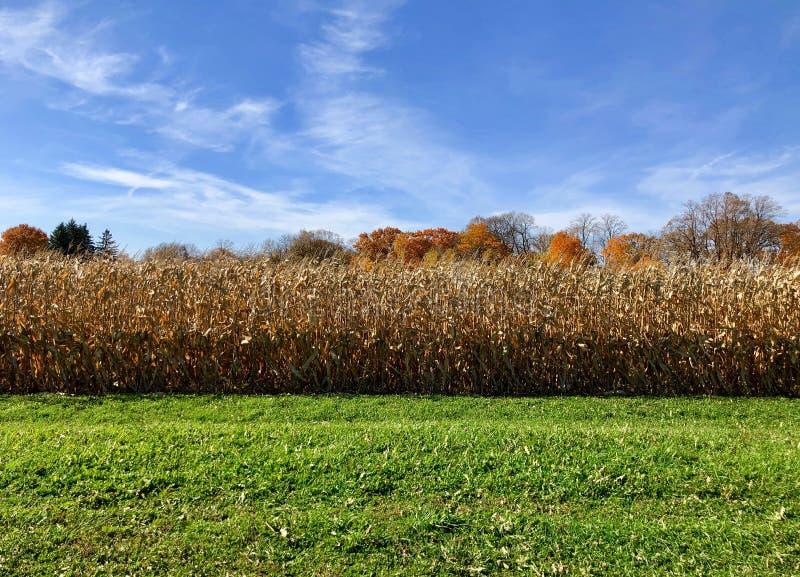 Scena e cielo blu di Autumn Corn Harvest fotografie stock libere da diritti