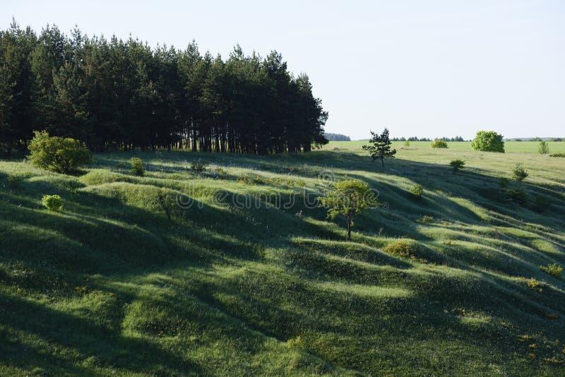 Scena impressionante delle colline verdi e dell'abetaia con le ombre lunghe nella mattina di estate immagine stock