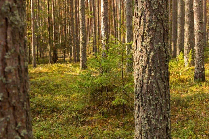 Scena pi?kny zmierzch przy lato sosnowym lasem z drzewami i traw? Krajobraz zdjęcie royalty free