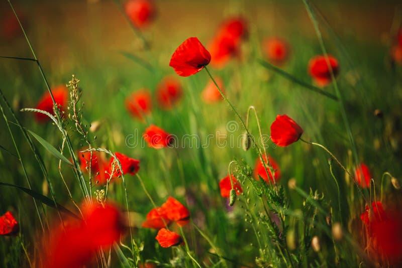 Scena pittoresca fine sul papavero fresco e rosso dei fiori sul campo verde, alla luce solare paesaggio rurale maestoso immagini stock libere da diritti