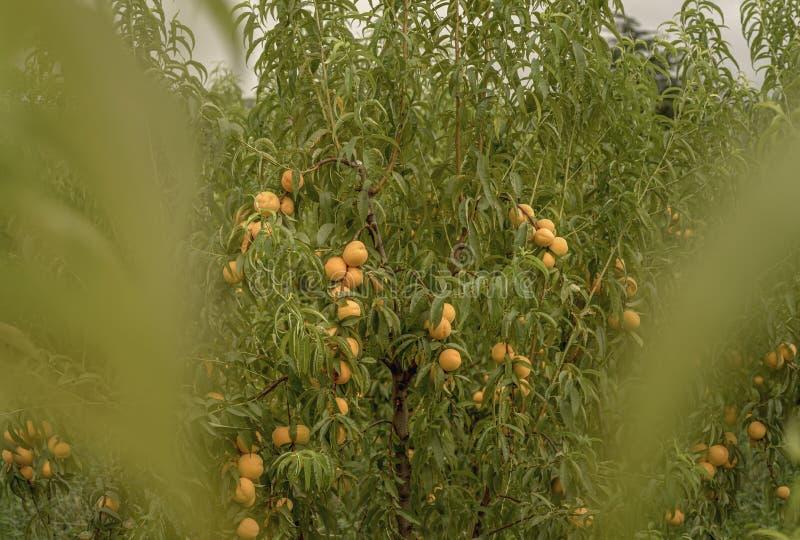 Scena z brzoskwini drzewami i dojrzałymi owoc w naturalnym ogródzie obraz royalty free