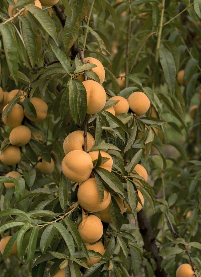 Scena z brzoskwini gałąź pełno owoc obraz stock