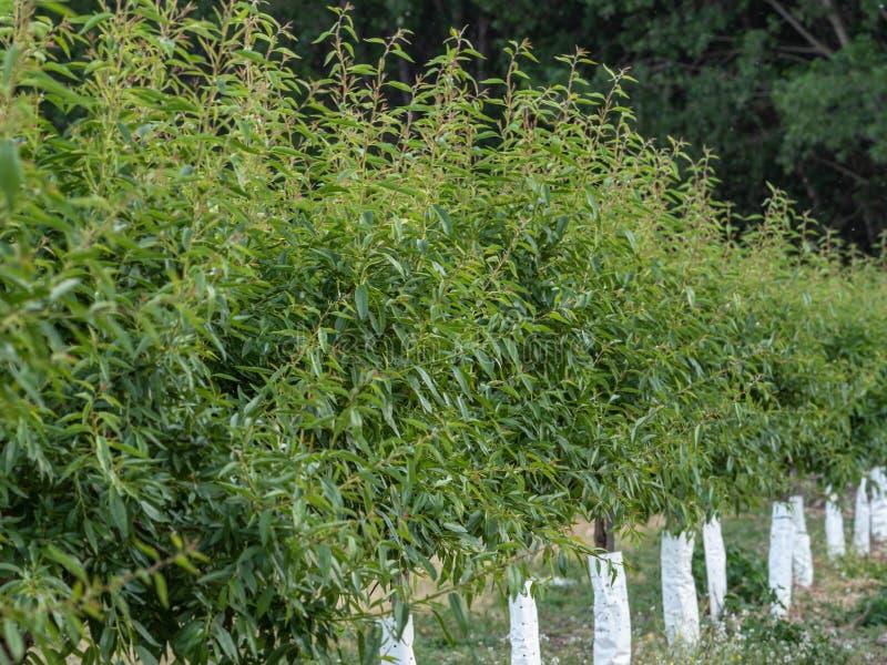 Scena z młodym brzoskwinia sadem w wiośnie zdjęcie stock