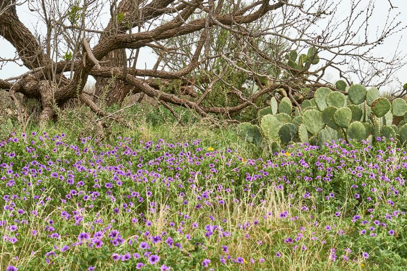 Scence occidental de Texas Spring Background avec l'arbre de wildflowers, de cactus et de mequite image stock