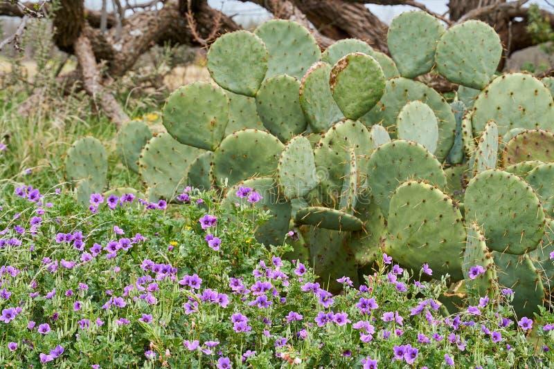 Scence occidental de Texas Spring Background avec l'arbre de wildflowers, de cactus et de mequite photo libre de droits