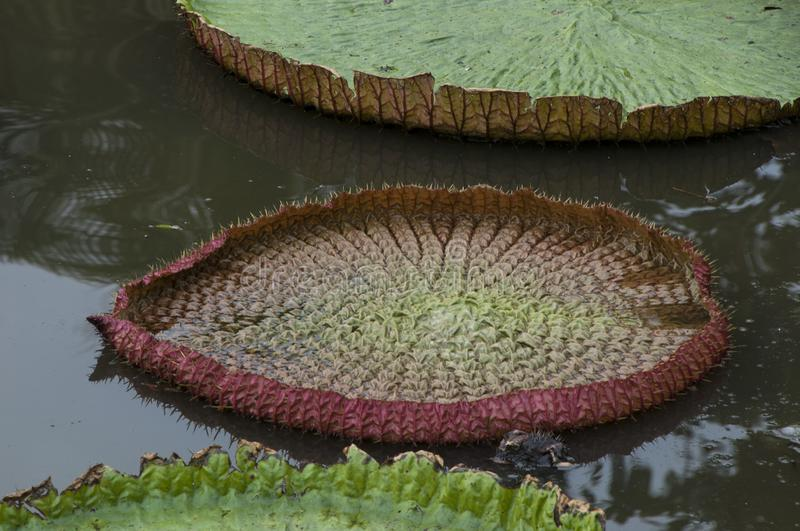 Giant lily pads on pond at Wat Jetlin royalty free stock photography