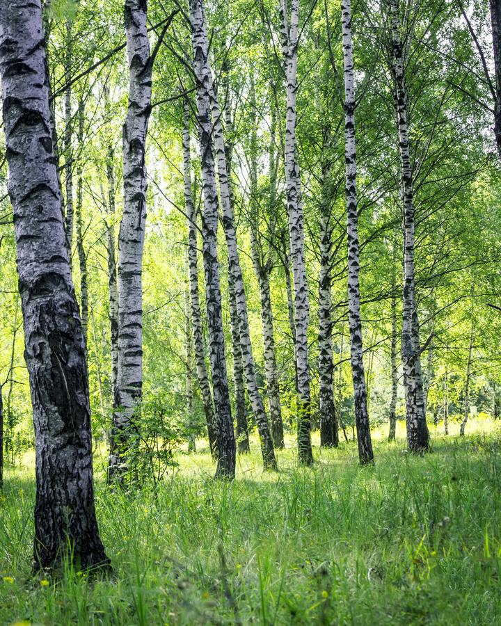 A scene of beautiful sunset in a birch forest on a sunny early summer or spring evening. Vertical Landscape stock images