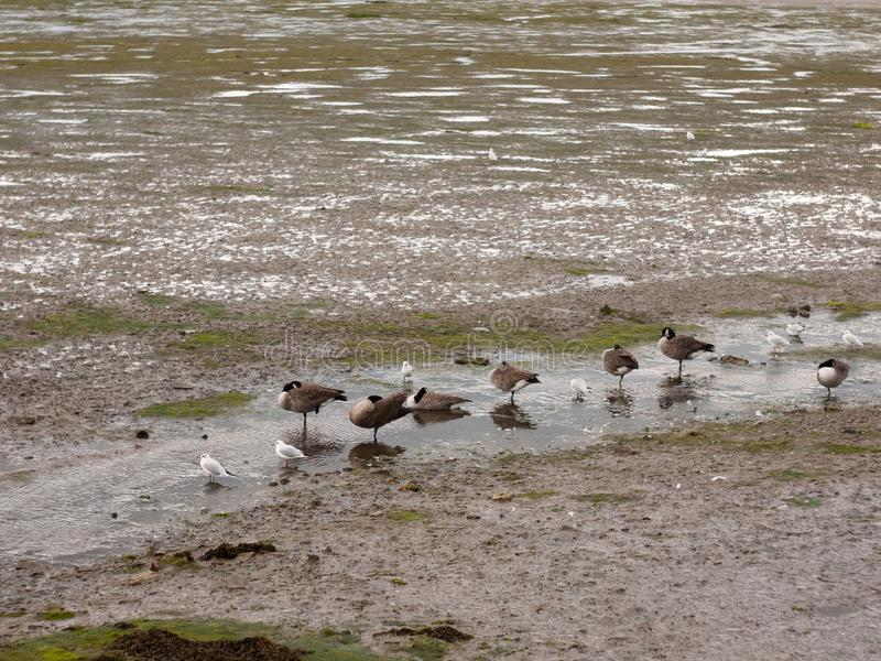 Scene of canadian geese standing stationary in a line in a small stock images