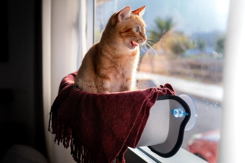 Tabby cat looking through the window begins to yawn stock images