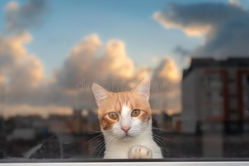 White and brown domestic cat looks at life through the window royalty free stock photography