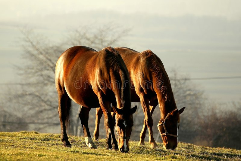 Download Scene Of Grazing Horses At Sunset Stock Photo - Image: 7628922