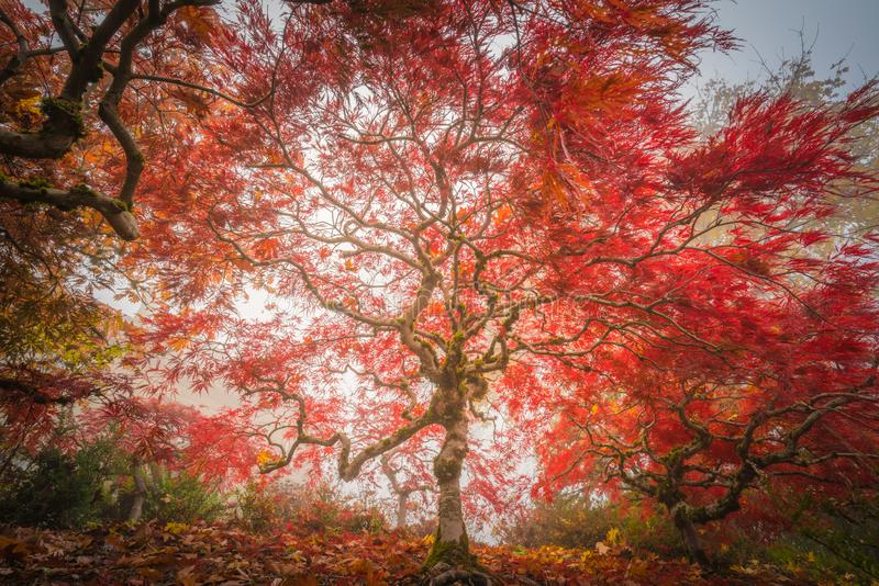 Japanese maple in foggy autumn. This is a photograph of a scene of Japanese maple in foggy autumn royalty free stock photos