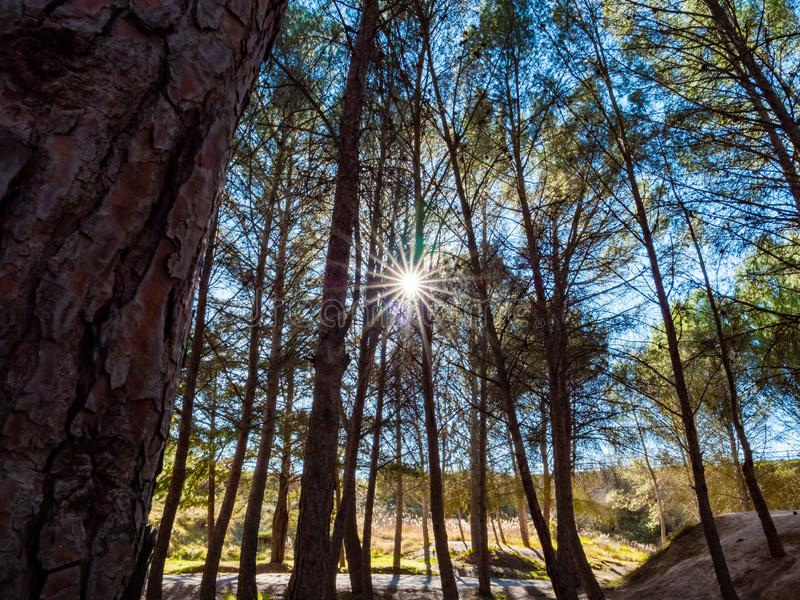 Scene with sun in a pine forest at noon. Landscape with pine trees and sun background in an autumnal forest stock image