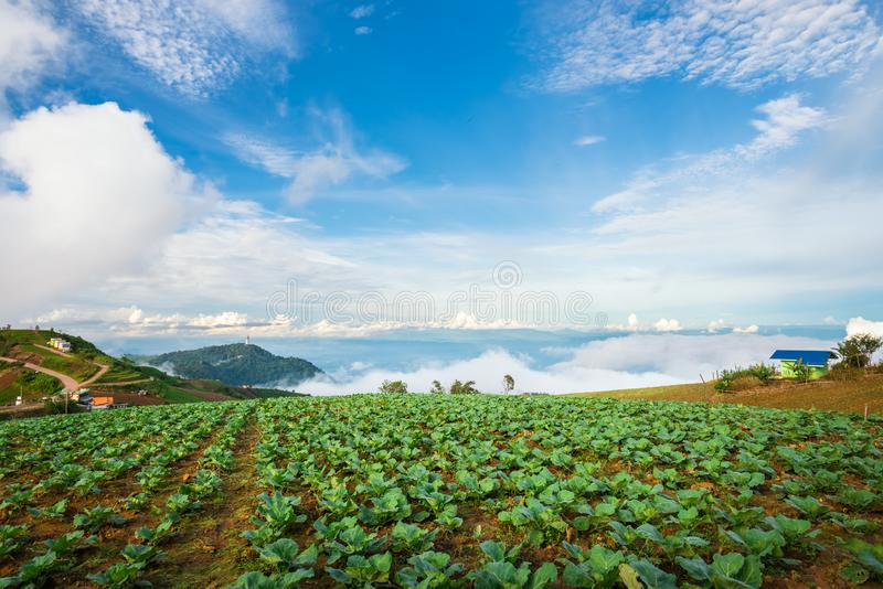 The Scene of Thailand about Big Cabbage farm on the mountain, Phu Tubburk, Thailand stock photos