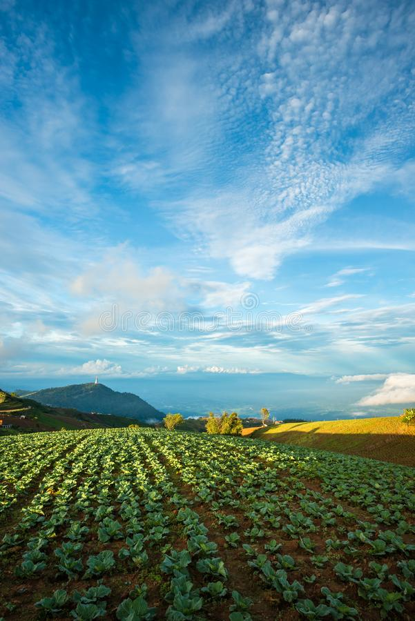 The Scene of Thailand about Big Cabbage farm on the mountain, Phu Tubburk, Thailand stock image