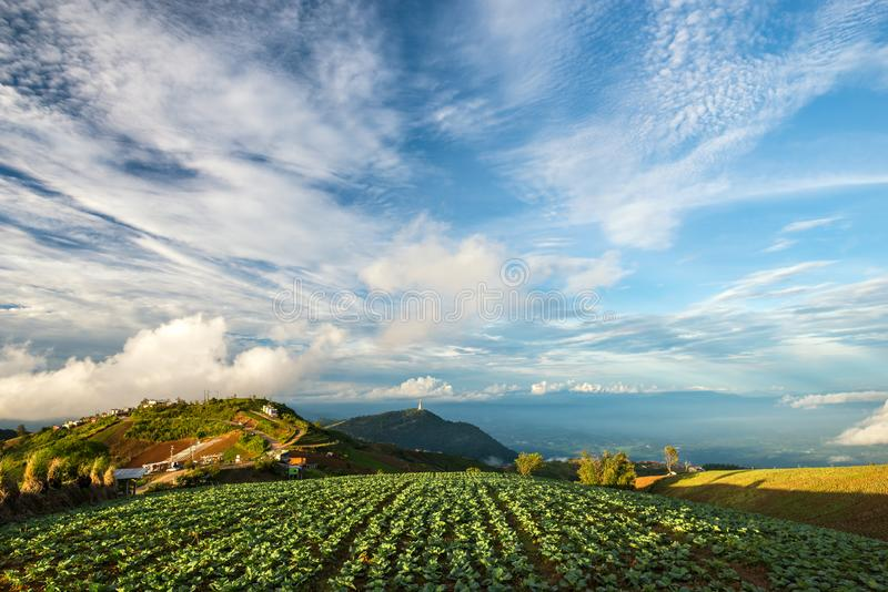 The Scene of Thailand about Big Cabbage farm on the mountain, Phu Tubburk, Thailand royalty free stock image