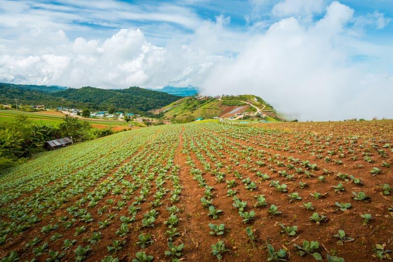 The Scene of Thailand about Big Cabbage farm on the mountain, Phu Tubburk, Thailand stock photo