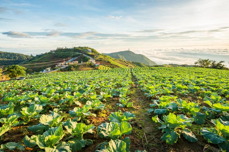 The Scene of Thailand about Big Cabbage farm on the mountain, Phu Tubburk, Thailand royalty free stock photography