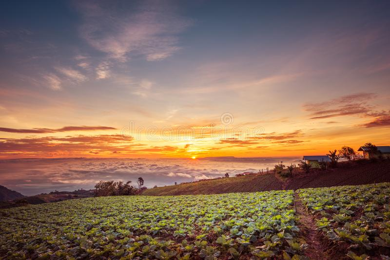 The Scene of Thailand about Big Cabbage farm on the mountain, Phu Tubburk, Thailand stock images