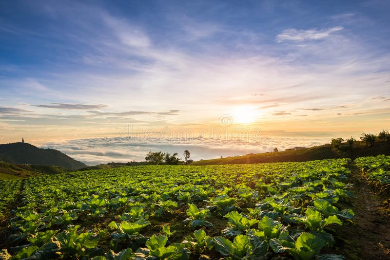 The Scene of Thailand about Big Cabbage farm on the mountain, Phu Tubburk, Thailand stock photography