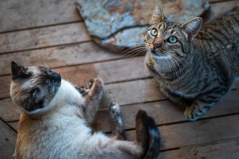 Two wild cats rest on the garden table. The tabby one looks up royalty free stock images