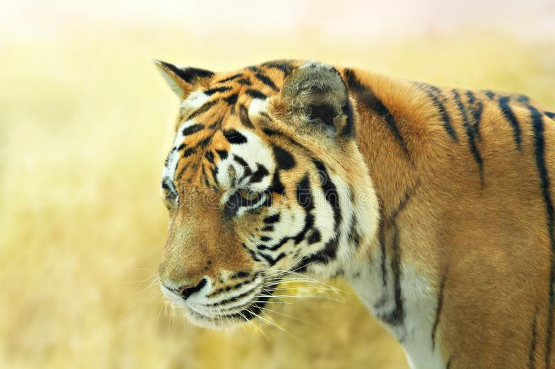 Large tiger in the wild. Nature habitat. stock images