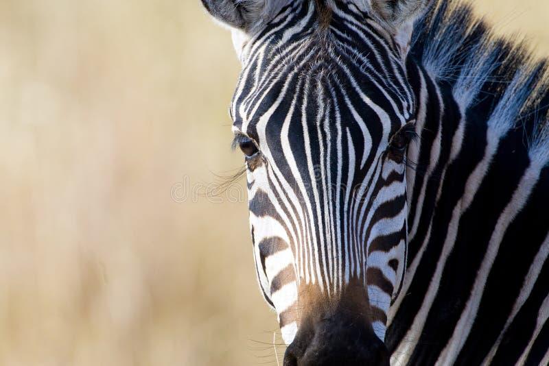 Wild African Zebra with long eyelashes royalty free stock photography