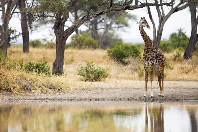 Wild Giraffe at watering hole in Africa stock photography