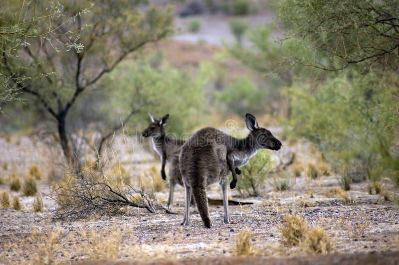 Sceneria wzdłuż Moralana Scenicznej przejażdżki, Flinders pasma, SA, Australia obrazy stock