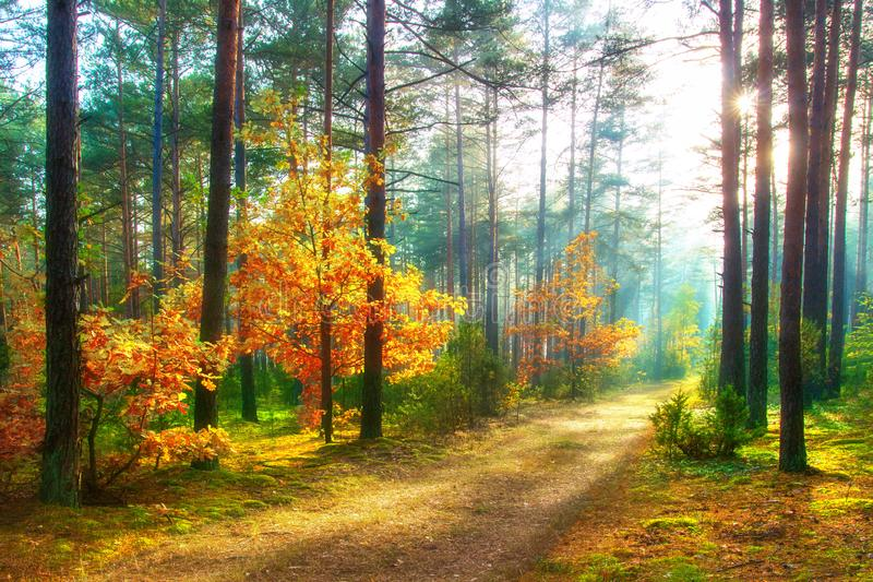 Scenery autumn forest. Sunny woodland. October nature landscape. Beautiful vivid forest in sunlight royalty free stock photo
