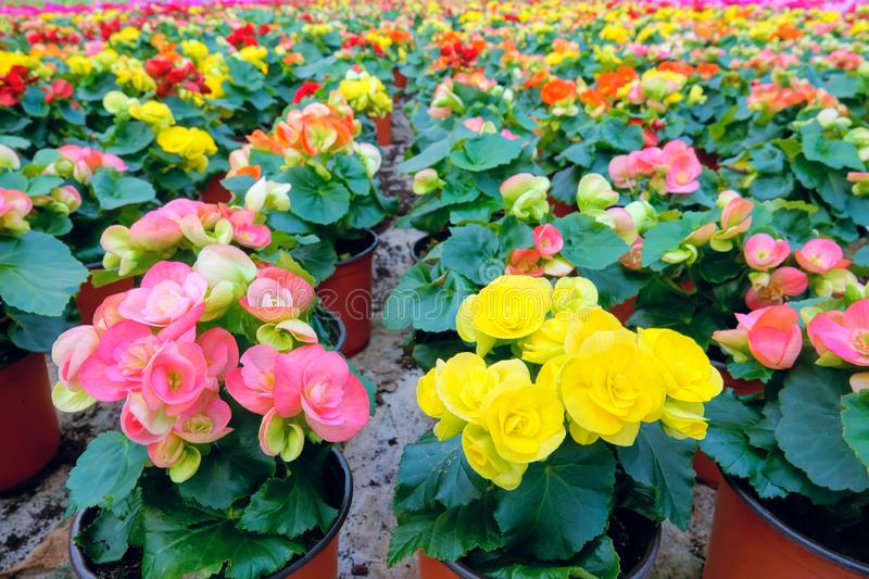 Begonia flowers stock images