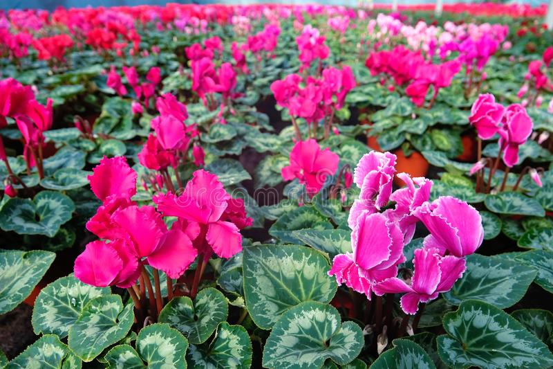 Flower nursery of sowbread stock photography