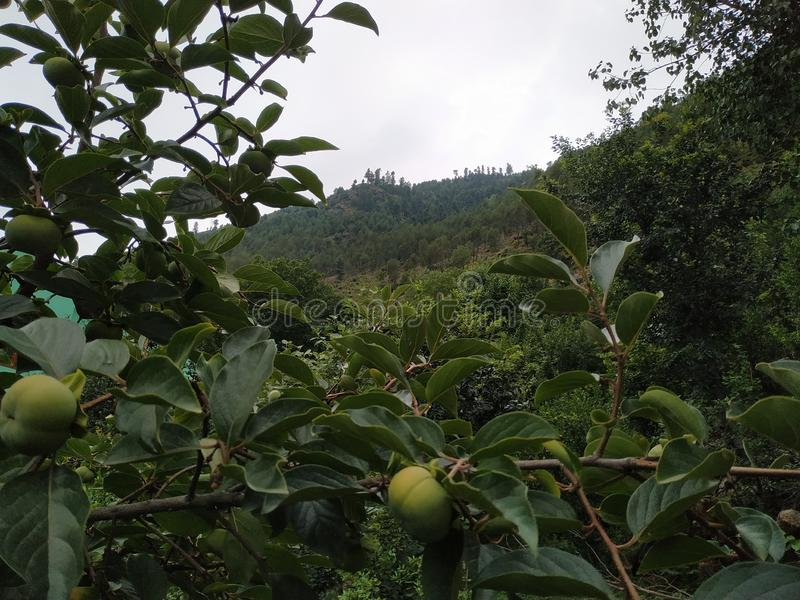 Hills, cloudy weather garden of fruits. stock image