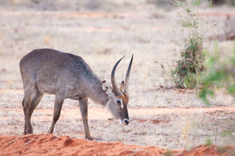 Scenery of Kenya, antelope eating grass. Scenery of Kenya, antelope with big horns eating grass, red soil stock image