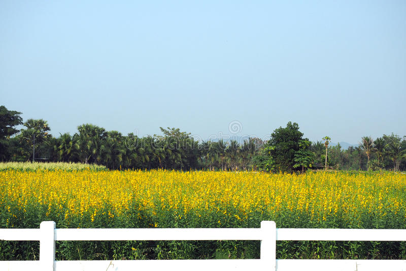 The scenery landscape view of yellow sunhemp flowers stock image
