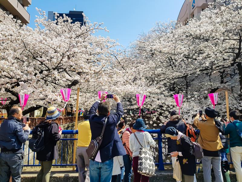 Scenery of Meguro river when white cherry blossoms or sakura full bloom royalty free stock photography