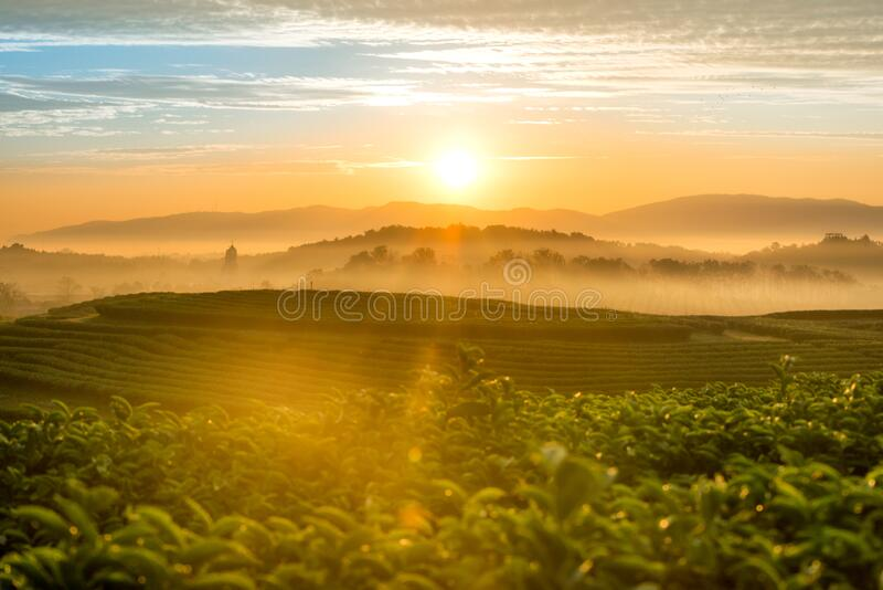 The scenery of morning sunrise over a tea plantation with a beautiful sea of fog in Chiang Rai, Thailand.  stock images