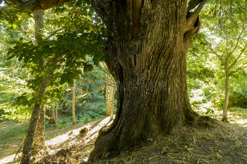 Scenery, old and ancient chestnut forest in the province of Zamora, Spain. Trees over 500 years stock photography
