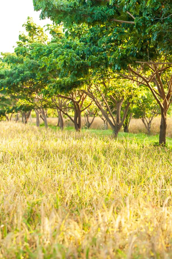 Scenery organic paddy field at sunrise, rice plantation in the shade of tropical trees. Golden ears of paddy in summertime. Agriculture, farming. Selective royalty free stock photo