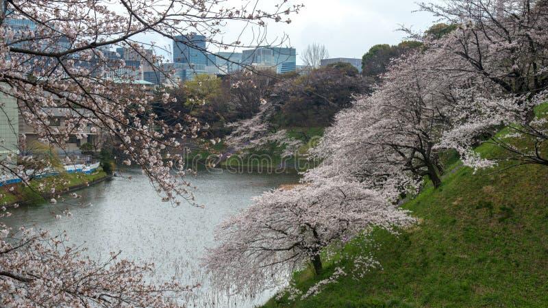 The scenery of sakura blooming in Chidorigafuchi park in Tokyo, Japan.  royalty free stock photo