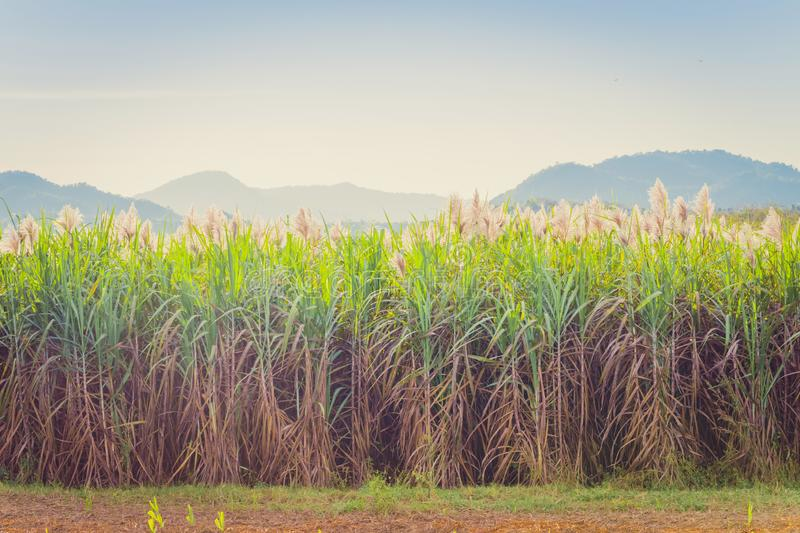 Scenery of Sugar-cane flower to the breeze just prior to harvest stock images