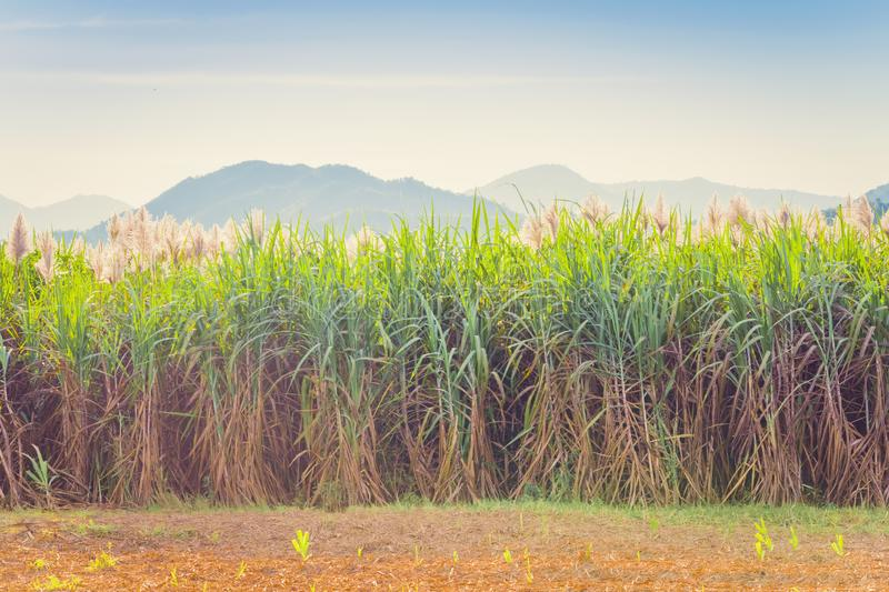 Scenery of Sugar-cane flower to the breeze just prior to harvest. In Kanchanaburi, Thailand stock photos